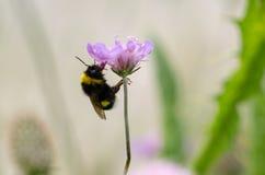 Bomblebee se aferra una flor púrpura Imágenes de archivo libres de regalías