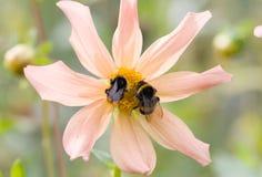 Bomblebees auf einer Blume Stockfotografie