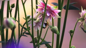Bombo ai fiori decorativi rosa di aquilegia stock footage