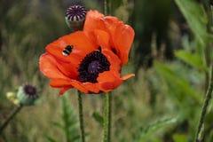 Bombo alto vicino sul fondo rosso del polline del papavero, insetto di estate Bombo sul fiore rosso luminoso fotografia stock libera da diritti