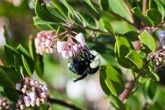 Bombo che impollina i fiori di rosa dell'albero di Manzanita fotografie stock libere da diritti