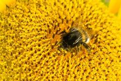 Bombo che raccoglie nettare da un bello girasole giallo Ecologia, ambiente e concetto di giardinaggio fotografie stock libere da diritti