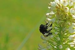 Bombo che raccoglie polline e nettare sui fiori bianchi fotografie stock