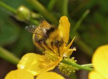 Bombo che raccoglie polline - macro colpo fotografia stock libera da diritti