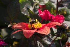 Bombo che si siede sul fiore rosso luminoso della dalia con le gocce di acqua sui petali un giorno soleggiato caldo immagini stock libere da diritti