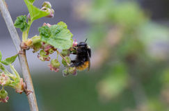 Bombo che sorseggia Nectar From Red Currants Blossoms Fotografia Stock