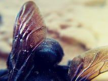 Bombo degli insetti ale Fotografie Stock