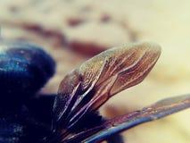 Bombo degli insetti ale Fotografia Stock Libera da Diritti