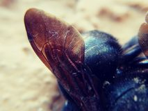 Bombo degli insetti ale Immagine Stock