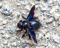 Bombo nero con le ali blu luminose su una pietra immagine stock libera da diritti