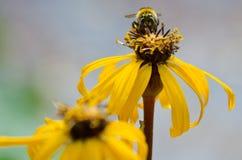Bombo su un fiore giallo Fotografia Stock