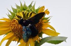 Bombo su un fiore per nettare Fotografia Stock Libera da Diritti
