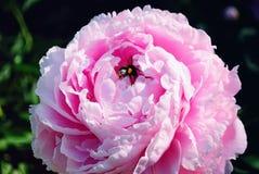 Bombo su un fiore rosa della peonia Immagine Stock Libera da Diritti