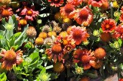 Bombo sui fiori Immagine Stock
