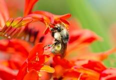 Bombo sui fiori di Crocosmia. fotografia stock libera da diritti