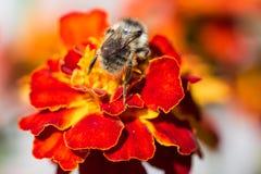 Bombo sul fiore rosso Fotografia Stock Libera da Diritti