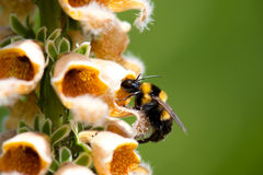 Bombus. Bumble bee sucking on a yellow flower of Digitalis stock photography