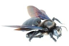 Bombus bee Royalty Free Stock Photos