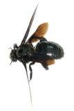 Bombus bee Royalty Free Stock Photo