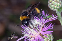Bombus bee on a flower Stock Photo