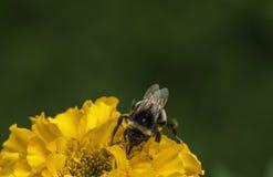 Bombus en la flor en el jardín Foto de archivo libre de regalías