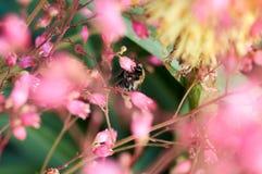 Bombus en la flor rosada que recoge el polen Imagen de archivo