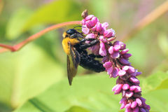 Bombus Royalty Free Stock Photography