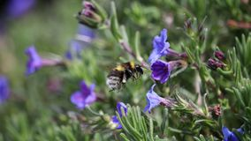 Bombus hortorum in flight showing its long tongue. The small garden bumblebee, Bombus hortorum, leaving a purple flower it has been foraging on. This bee appears Stock Image