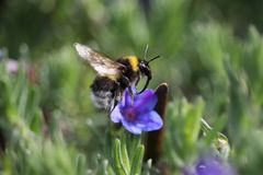 Bombus hortorum in flight showing its long tongue. The small garden bumblebee, Bombus hortorum, leaving a purple flower it has been foraging on Stock Photo