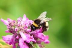 Bombus hortorum, garden bumblebee, pollinating some flower in Slovakia grassland. Summer is here stock photography