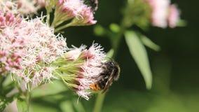 Bombus lapidarius obsiadanie na agrimony (ogoniasty bumblebee) Obraz Stock