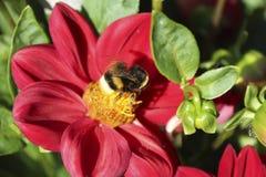 Bombus Latreille.Red Dahlia. stock photos