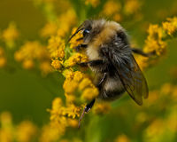 Bombus lucorum Stock Photography