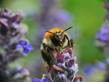 Bombus pascuorum, Royalty Free Stock Photos