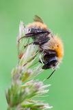 Bombus pascuorum Stock Photography