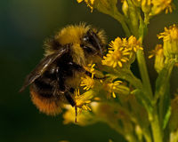 Bombus pratorum Stock Image