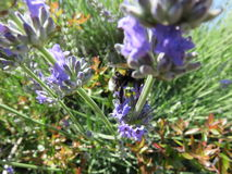 Bombus. Is a shrewd and like bees is a perfect pollinator with all its pellets here in the intent of sucking the netter from the Lavender plant royalty free stock images