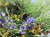 Bombus. Is a shrewd and like bees is a perfect pollinator with all its pellets here in the intent of sucking the netter from the Lavender plant stock photography