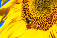 Bombus and sunflower on a field Royalty Free Stock Photos