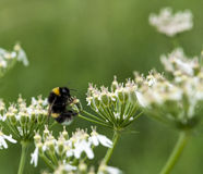 Bombus Terrestris Royalty Free Stock Image