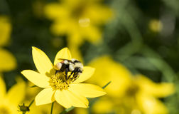 Bombushuntii - jakten stapplar annalkande pollen för biet på blomman Fotografering för Bildbyråer