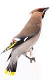 Bombycilla garrulus,太平鸟。 免版税库存图片