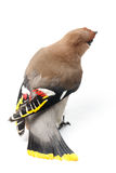 Bombycilla garrulus,太平鸟。 库存照片