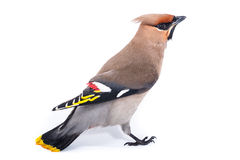 Bombycilla garrulus,太平鸟。 库存图片