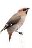 Bombycilla garrulus,太平鸟。 免版税图库摄影
