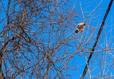 Bombycilla garrulus,太平鸟 反对天空的鸟 免版税库存图片