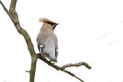 Bombycilla garrulus,站立在分支的太平鸟 库存图片