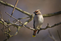 Bombycilla garrulus,站立在分支的太平鸟 免版税库存照片