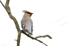 Bombycilla garrulus, Bohemian waxwing standing on a branch Stock Images