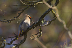 Bombycilla garrulus, Bohemian waxwing standing on a branch Royalty Free Stock Image
